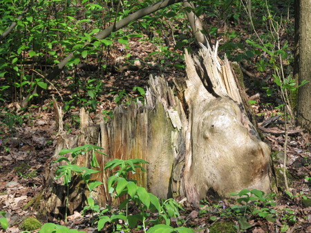 rotting: Old rotting stump in the green forest