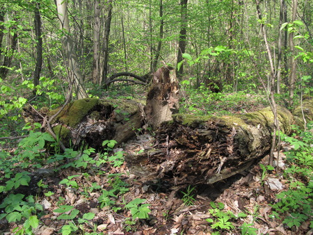 rotting: old fallen rotting trunks of trees in green forest