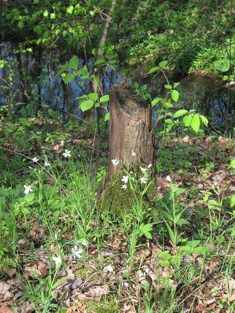 unbreakable: little cut trunk of tree with some new twigs and white flowers around it in the wood