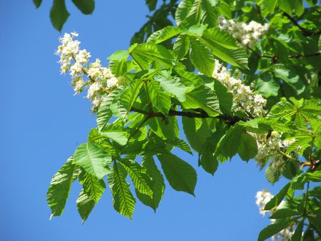 chestnut tree: Twigs of chestnut tree with green leaves and white blooms and blue sky