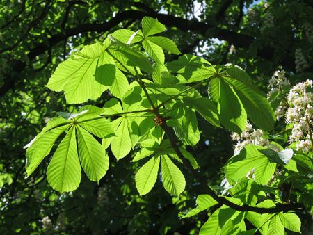 chestnut tree: green chestnut tree leaves enlightened with the sun