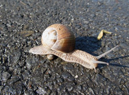 slithering: big snail slithering over tiny one on the road