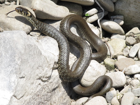 grass snake: big grass snake lying on the rocks