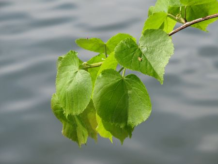 lime tree: green leaves of a lime tree and blurred water at the background
