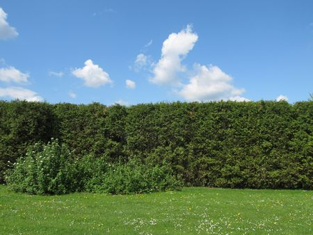 hedgerow: high green hedge and blue sky with white clouds Stock Photo