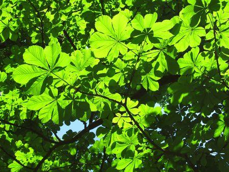 illuminati: verdi di castagno rami degli alberi illuminati con il sole