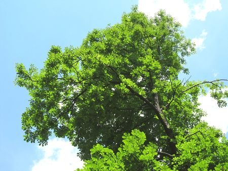 looming: chestnut tree with green  leaves looming up to the sky