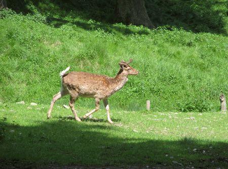 fallow deer: fallow deer walking on the meadow Stock Photo