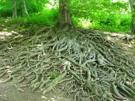 crooked: many big long crooked roots of and old beech tree at Hukvaldy Stock Photo
