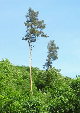 pine trees: Tall pine trees above the freen forest
