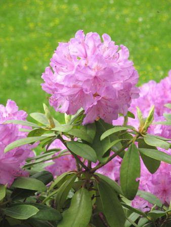 blooming purple: close photo of blooming purple rhododendron Stock Photo