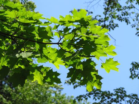 enlightened: branches of maple tree with fresh green leaves enlightened with the sun Stock Photo