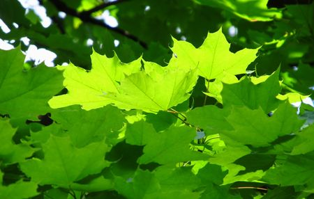 illuminati: vicino foto di acero fresche foglie verdi illuminato con il sole Archivio Fotografico