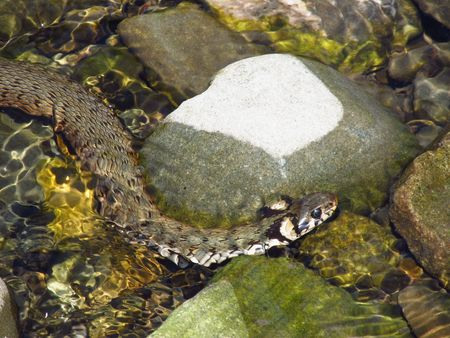 grass snake: close photo of a big grass snake in the clean river Stock Photo