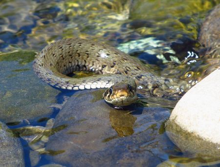 species living: big grass snake in the clean river