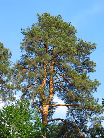 doubled: tall pine tree with doubled trunk
