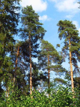 pine trees: Tall pine trees above the green forest