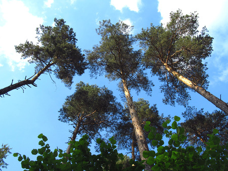 looming: several tall pine trees looming up to the sky