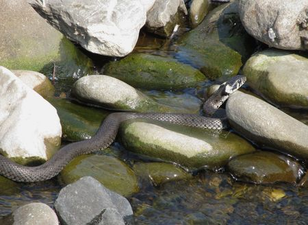 grass snake: grass snake on the stones in the river