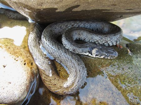 grass snake: Grass snake hiding under the stone in the river