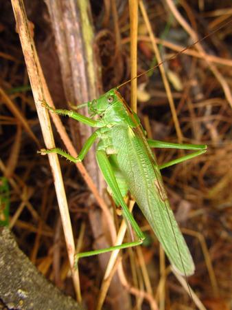 sear: big Great Green Bush-Cricket in the sear grass