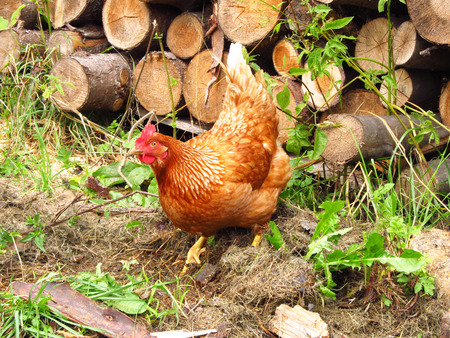 poking: Brown hen grubbing in the ground for some food