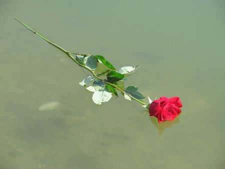 lost lake: crimson red rose floating on the water surface