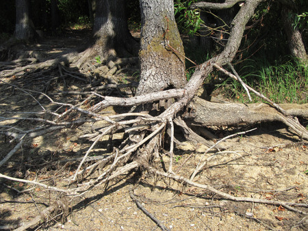 crooked: Bare crooked branches and tree with revealed roots