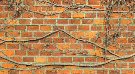 sear: Viny sear woodbine on the brick wall Stock Photo