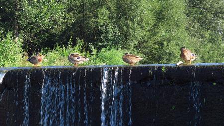 weir: Several mallard ducks standing on the weir