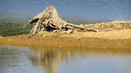revealed: stump of a dead tree with revealed roots on the bottom of drying pond