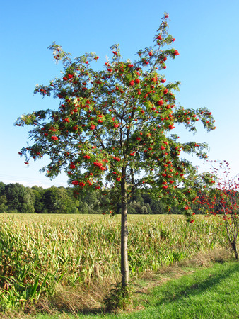 rowan tree: rowan tree in autumn with red rowanberries