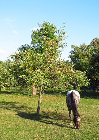 dappled: brown and white dappled horse pasturing under the tree