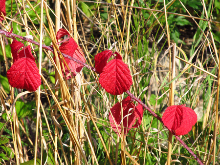 bramble: close photo of several red leaves of bramble and sear grass