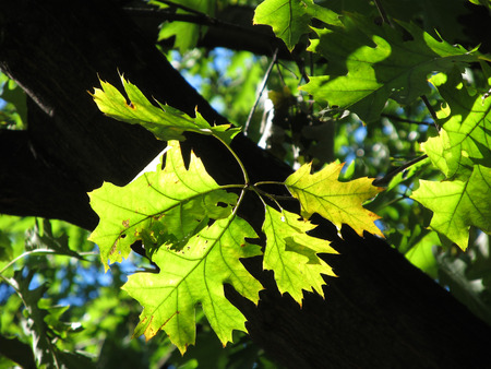 illuminati: yellow and green leaves of an oak enlightened with the sun