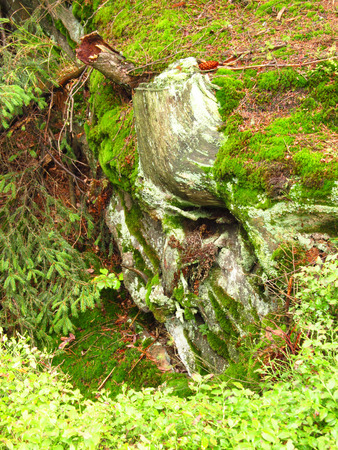 rotting: rotting stump with visible roots covered with lichens or algae