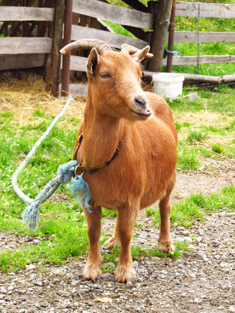 brown goat: brown goat tied on the rope outdoors