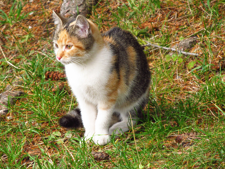 fluffy: cute fluffy tricolor kitten sitting outdoors