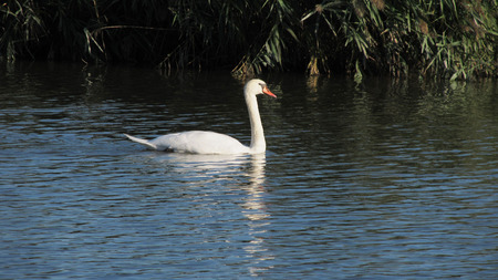 loner: white swan on the lake in contrast with dark background