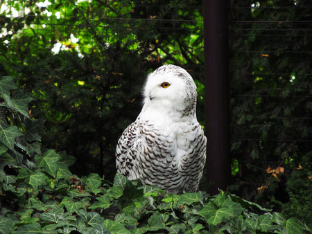 species of creeper: snowy owl sitting on the ground covered with green ivy in contrast with dark background Stock Photo