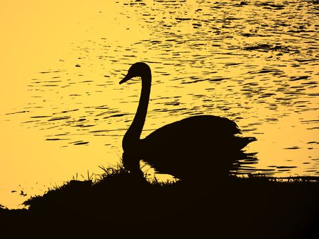 illustration of silhouette of swan on the river in the evening Stock Photo