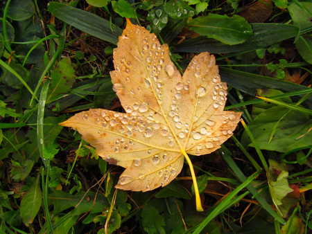 kropla deszczu: fallen maple leaf covered with drops of water lying on the grass