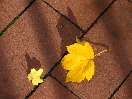 several: several bright yellow maple leaves on the pavement