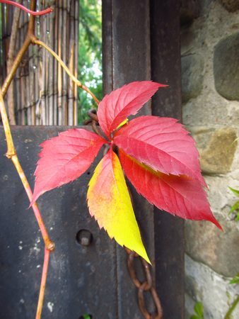 crimson colour: close photo of red and yellow leaf of woodbine on the fence