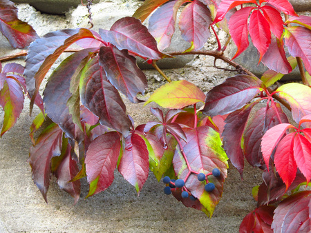 crimson colour: close photo of several red and partly green leaves of woodbine