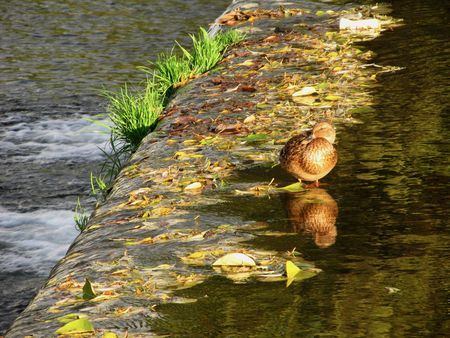 weir: duck standing on the top of a weir and colorful leaves in the water