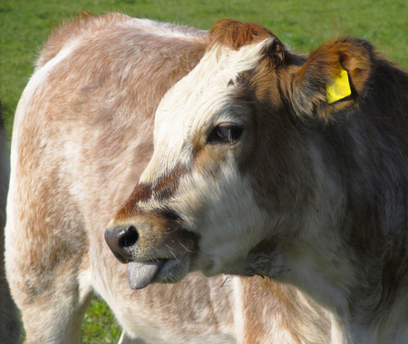 cow tongue: portrait of funny cow showing its tongue Stock Photo