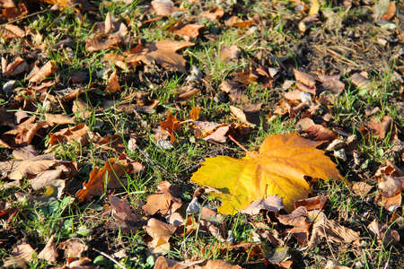 sear and yellow leaf: yellow maple leaf and many more smaller brown leaves on the ground Stock Photo