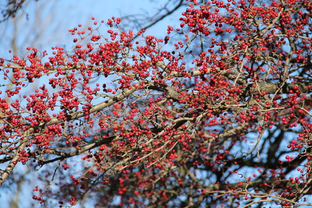 plenty: plenty of red berries on the twigs of tree
