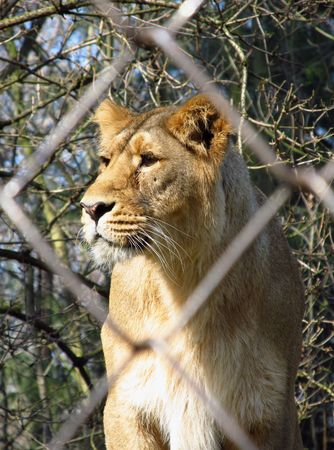 deprived: lioness behind the bars of cage Stock Photo